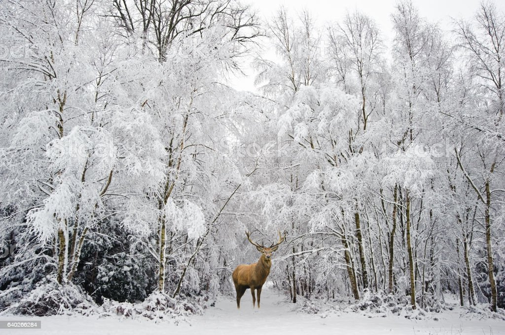 Beautiful red deer stag in snow covered Winter forest stock photo