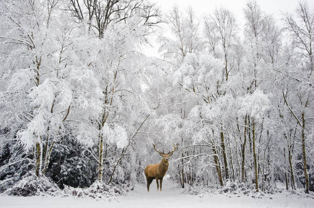 beautiful red deer stag in snow covered winter forest - forest animals stock photos and pictures