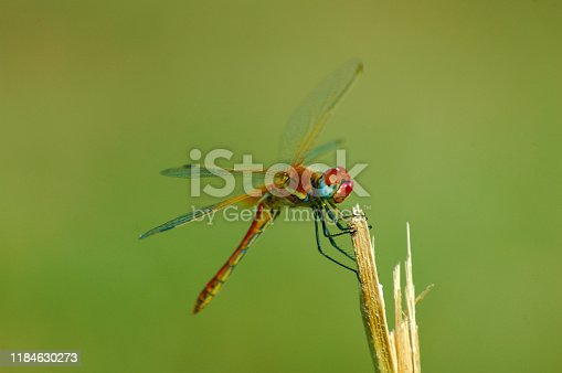Beautiful red dragonfly on a stem. Close-up of a red colored male ruddy darter (Sympetrum sanguineum) hanging on vegetation. Resting in sunlight in a meadow.