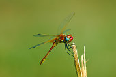 Beautiful red dragonfly on a stem.\nClose-up of a red colored male ruddy darter (Sympetrum sanguineum) hanging on vegetation. Resting in sunlight in a meadow.