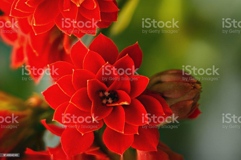 beautiful red flower stock photo