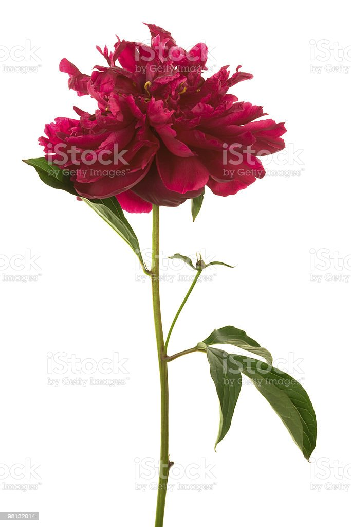 Beautiful red flower royalty-free stock photo