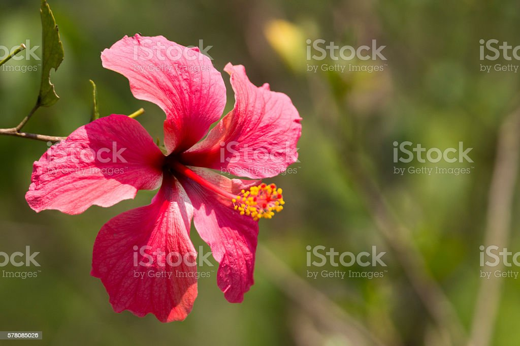 Beautiful Red Flowers Call Hibiscus Flowers Or Shoe Flower Stock