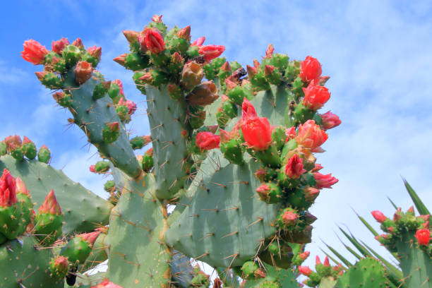 Beautiful red flowers of a blossoming cactus.