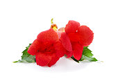 Beautiful red flowers isolated on a white background.