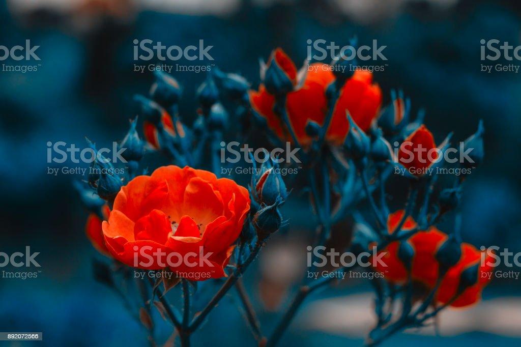 Beautiful red flowers. Red roses bush. Horizontal summer flowers art...