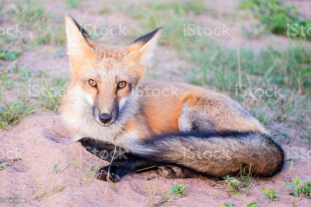 Foto De Linda Raposa Vermelha Na Natureza E Mais Fotos De