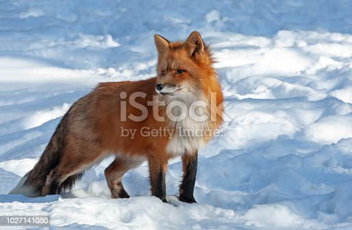 Beautiful red fox (Vulpes vulpes) standing in deep snow with majestic pose. The red fox is the largest of the true foxes and one of the most widely distributed members of the order Carnivora.