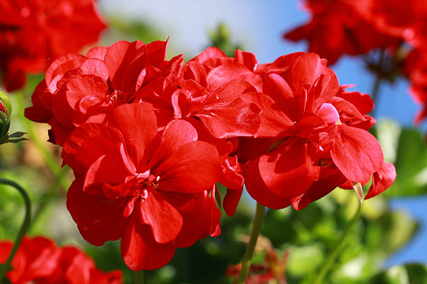 Beautiful red Geraniums flowers stock photo