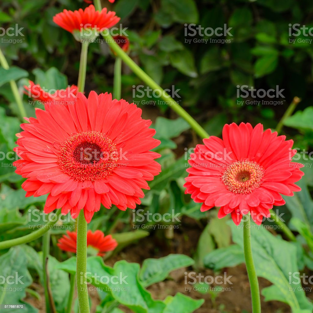 gerbera garten great in der nhe von rosa gerbera jamesonii blume kaiserin garten pune with. Black Bedroom Furniture Sets. Home Design Ideas