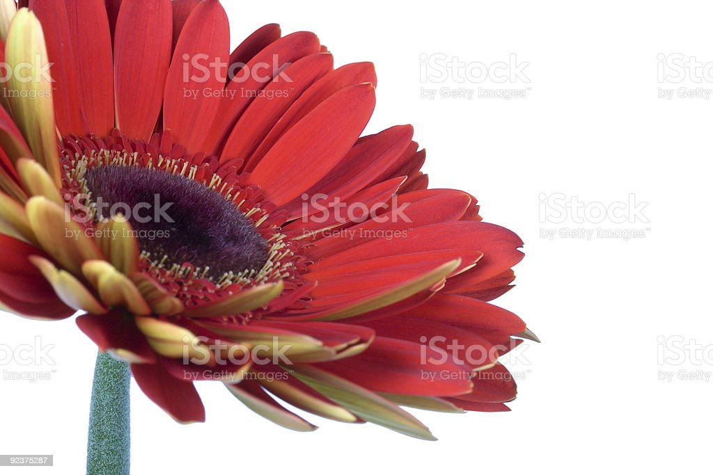 beautiful red gerbera flower royalty-free stock photo