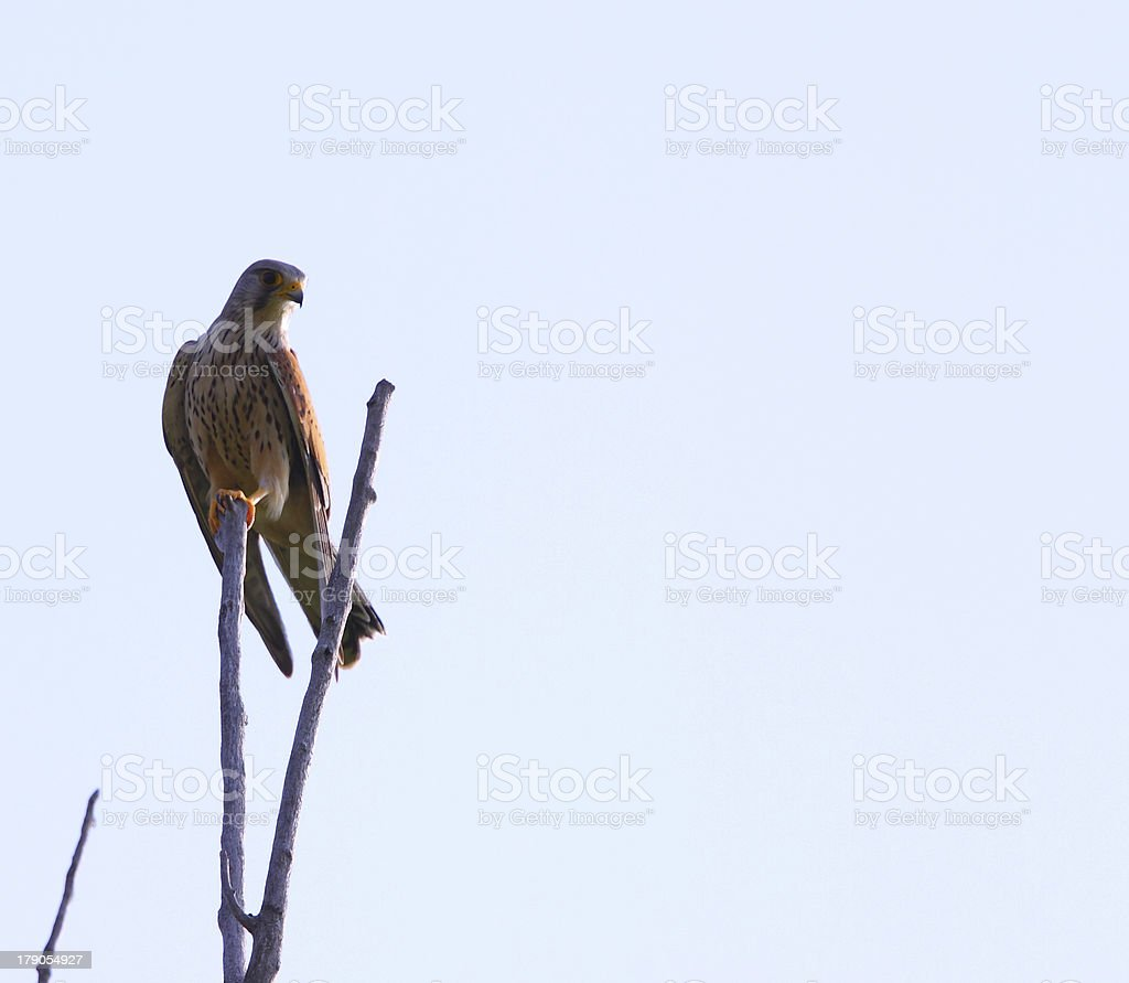 Beautiful Red Hawk Stock Photo - Download Image Now - iStock