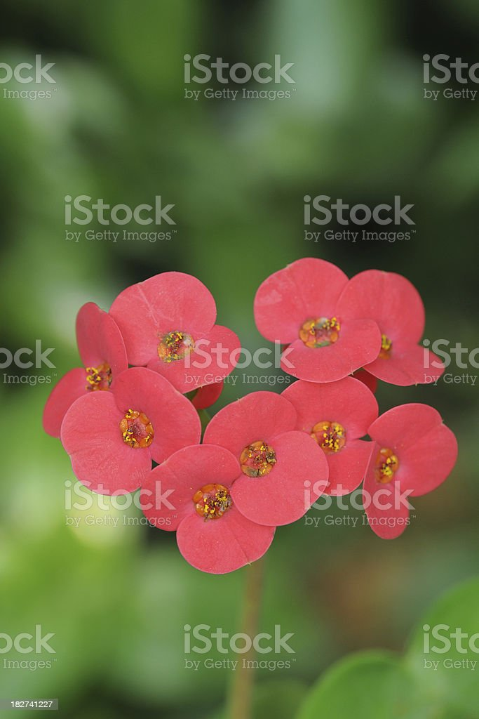 Beautiful Red Heart Shape Flower - XLarge royalty-free stock photo