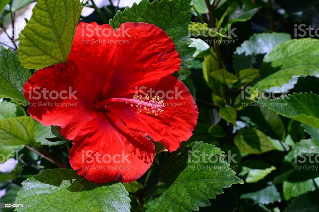 beautiful Red hibiscus stock photo