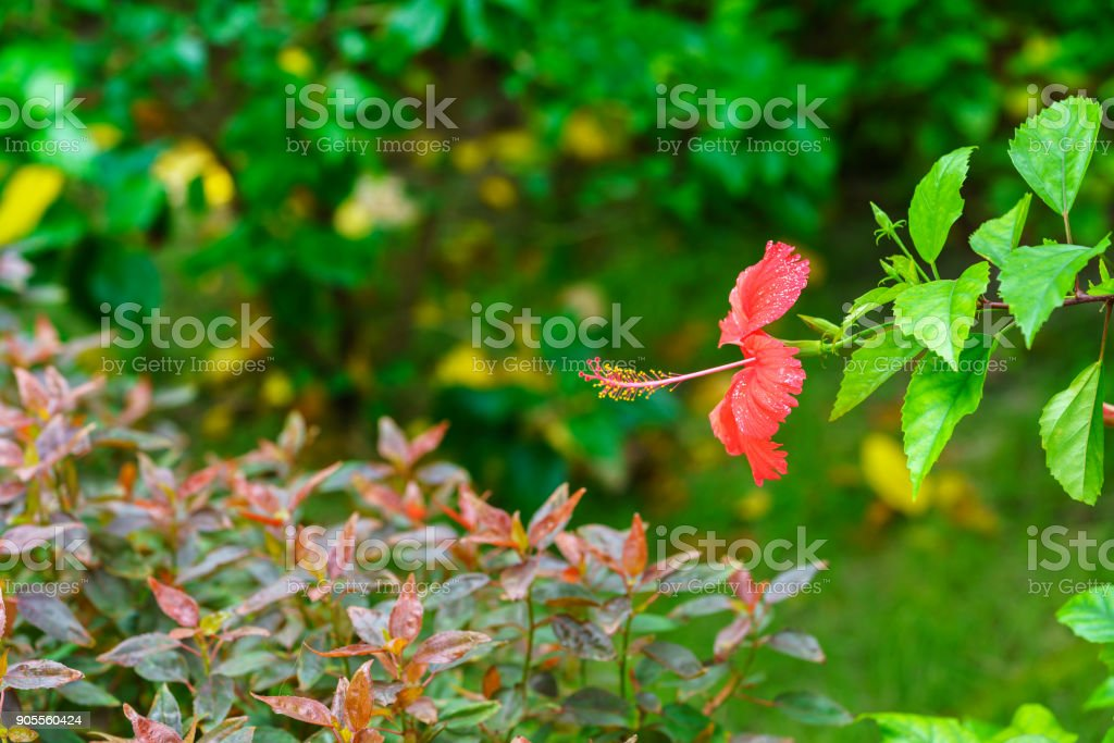 Beautiful red Hibiscus rosa-sinensis blooming in the garden stock photo