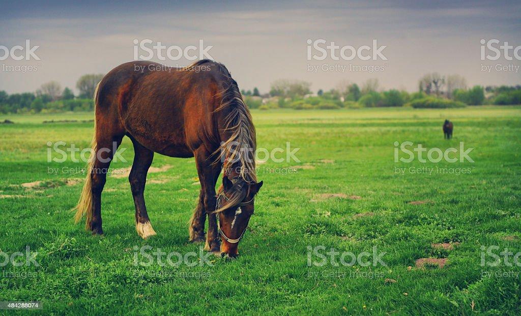 Beautiful red horses. wild horses mustangs nature, landscape stock photo