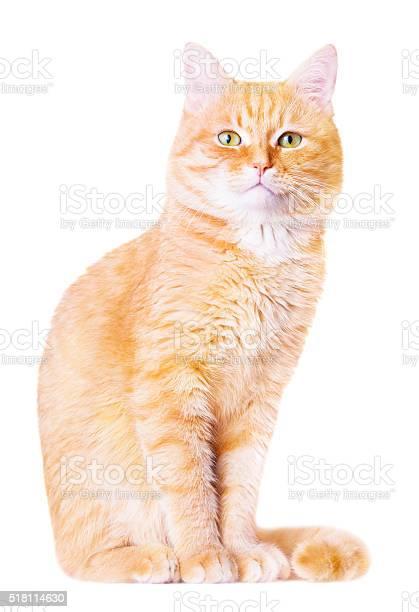 Beautiful red house cat picture id518114630?b=1&k=6&m=518114630&s=612x612&h=ixclyej5w4ufvvb5vg2ep8wsqbwnzx4tbb9lswka 9u=