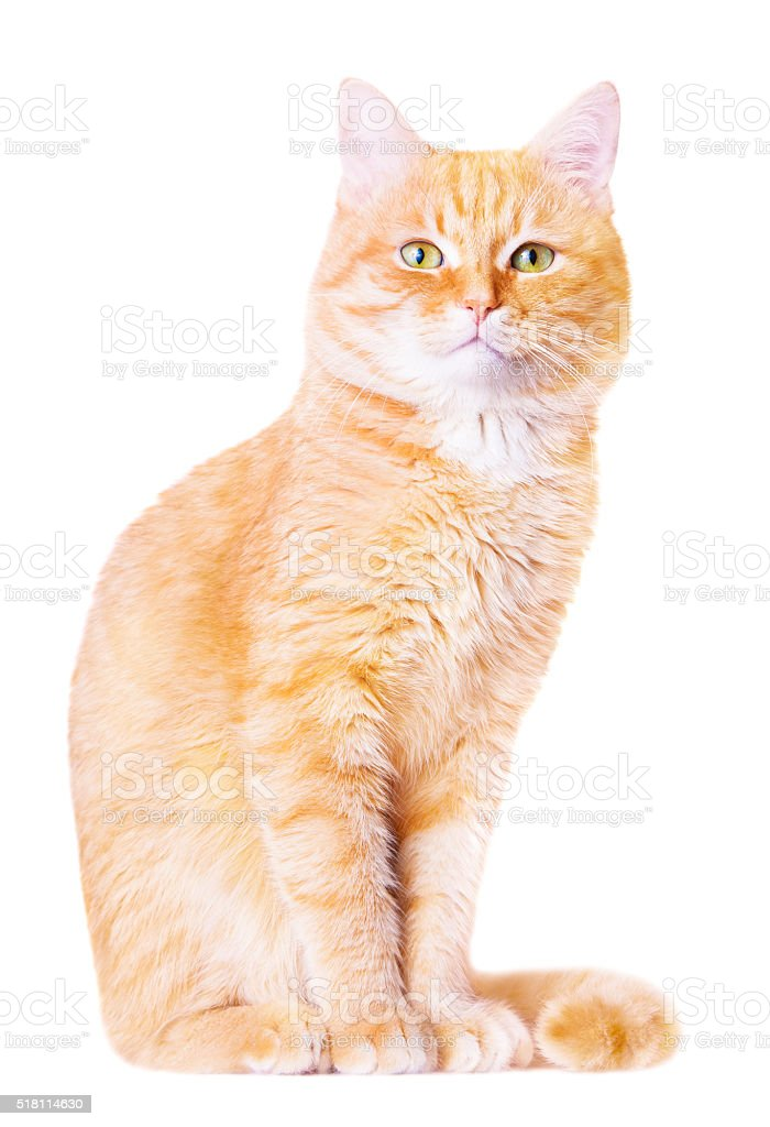 Beautiful red house cat stock photo