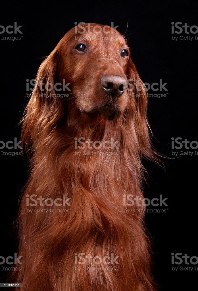 Beautiful Red Irish Setter on Black stock photo