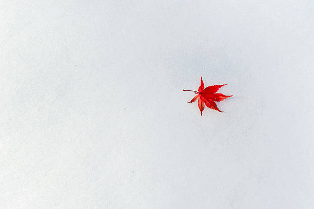 Beautiful Red Japanese Maple Leaf on Snow with Copy Space stock photo