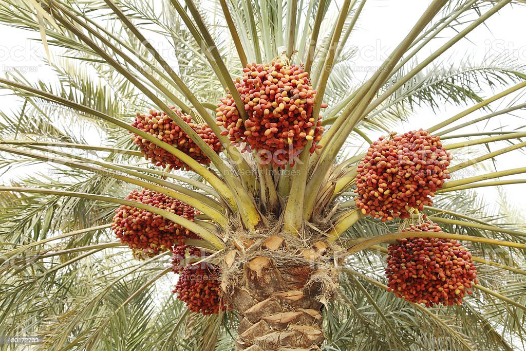 Beautiful red khalal dates in a tree stock photo