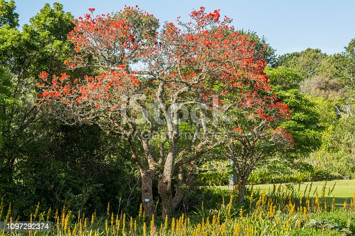 istock Beautiful red leaves tree in Kirstenbosch botanical Garden, Cape Town 1097292374