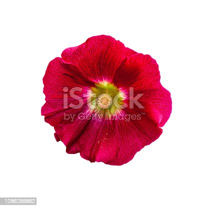 Beautiful red hollyhock (Alcea rosea) flower from Mallow family (Malvaceae), isolated on a white background. Morning flower with dew drops and pollen on the petals.
