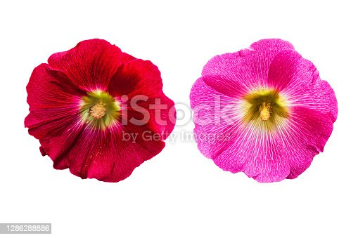 Beautiful red hollyhock (Alcea rosea) flowers from Mallow family (Malvaceae), isolated on a white background. Morning flowers with dew drops and pollen on the petals.