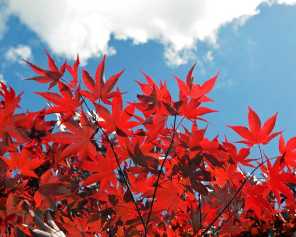 Beautiful Red Maple Tree stock photo