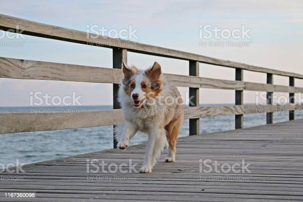 Beautiful red merle australian shepherd is runnign on a wooden bridge picture id1167360098?b=1&k=6&m=1167360098&s=612x612&h=nrvkczni yibpuibt mgl36jg6xtmzzx dmqs p2ixi=