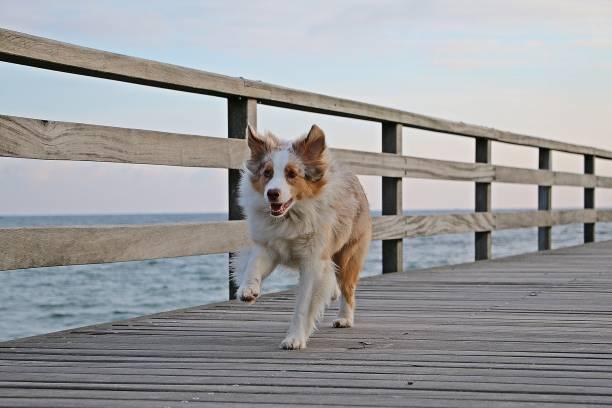schöne rote merle australischen Schäferhund ist runnign auf einer Holzbrücke über den Ozean – Foto