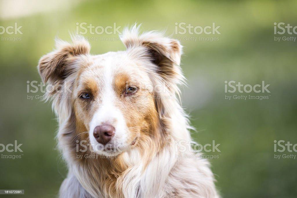 Beautiful Red Merle Australian Shepherd royalty-free stock photo