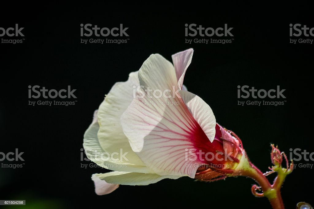 beautiful red okra flower on black background photo libre de droits