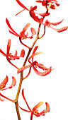 Close up of Beautiful red orchids isolated on white background. Vertically framed shot.