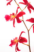 Close up of Beautiful red mokara orchids isolated on white background. Vertically framed shot.