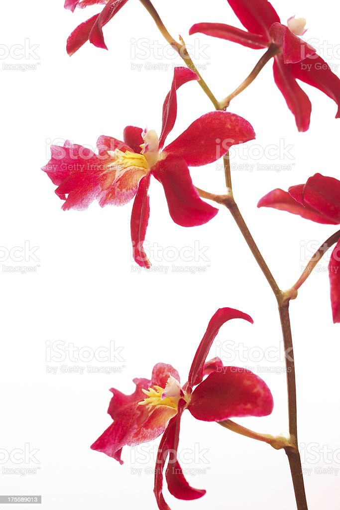 Beautiful red orchids isolated on white stock photo