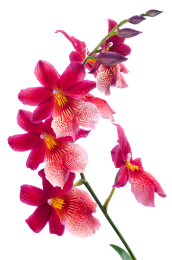 Bunch of luxury tropical Magenta orchids (cambria) isolated on white background. Studio shot.