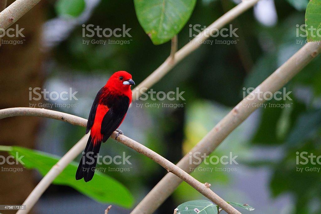 Beautiful red paradise tanager brazil bird stock photo