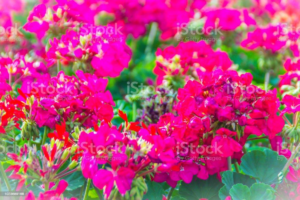 Fotografia De Hermosas Flores Rojas Rosa De Pelargonium Peltatum En