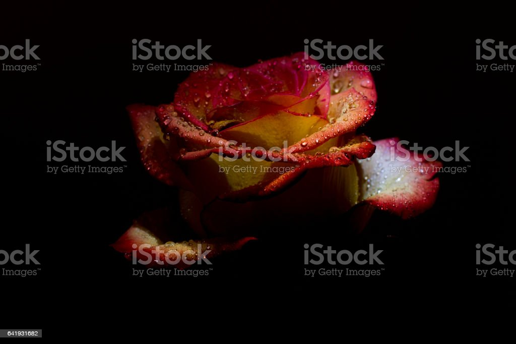 beautiful red pink rose with dew drops stock photo