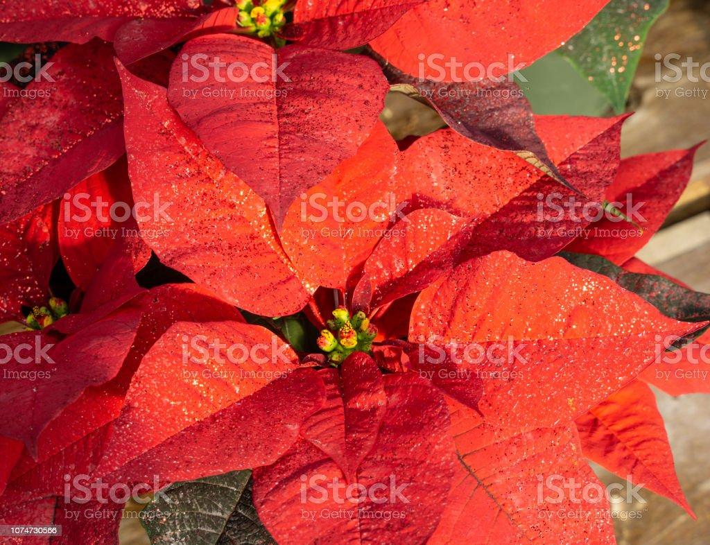 Vackra röda julstjärna blommande i tid för julen semesterperioden. - Royaltyfri Abstrakt Bildbanksbilder