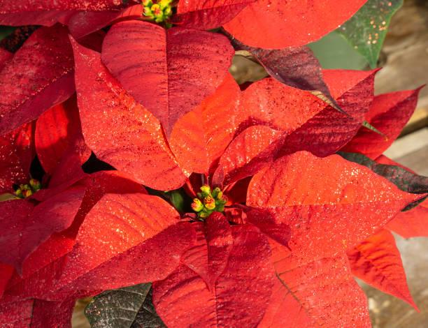 vackra röda julstjärna blommande i tid för julen semesterperioden. - bethlehem star old fashion bildbanksfoton och bilder