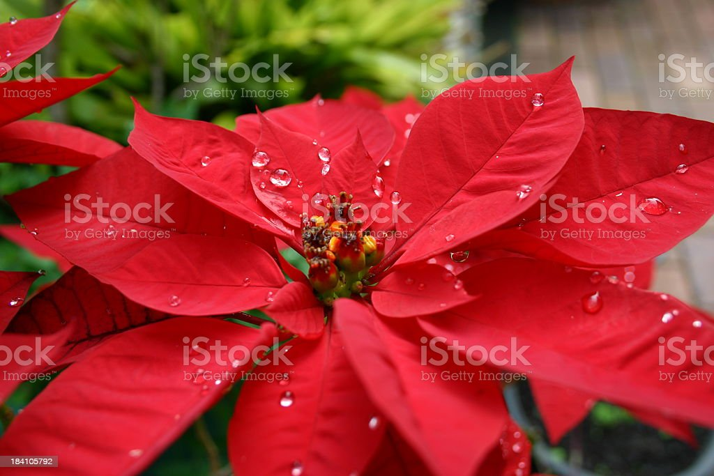 beautiful red poinsettia with raindrops side view royalty-free stock photo