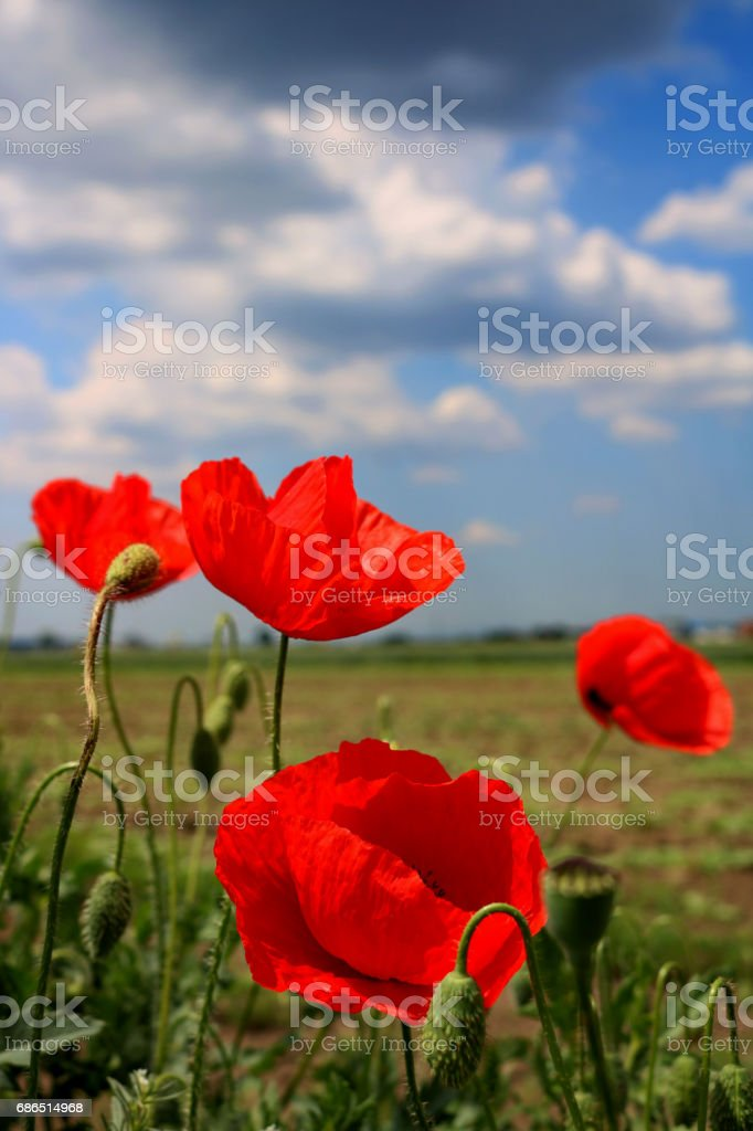 Beautiful red poppies at field royalty free stockfoto