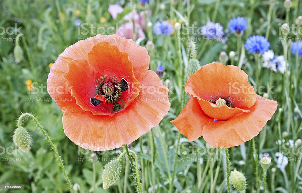Beautiful red poppies blossom among meadow grasses royalty-free stock photo
