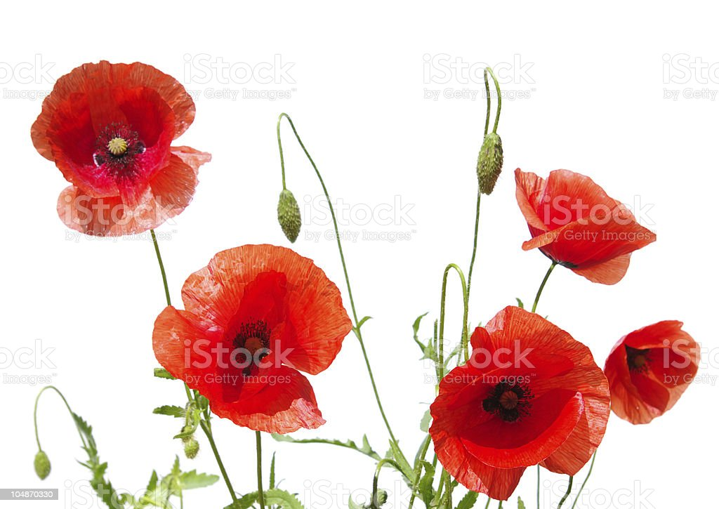 beautiful red poppies royalty-free stock photo
