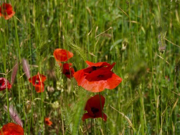 Beautiful Red poppy flowers on fields Crimea stock photo