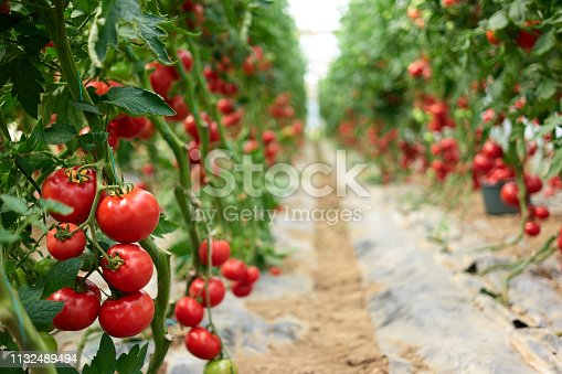 istock Beautiful red ripe tomatoes grown in a greenhouse. 1132489494