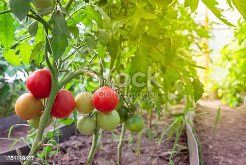 istock Beautiful red ripe tomatoes grown in a greenhouse. 1254119427