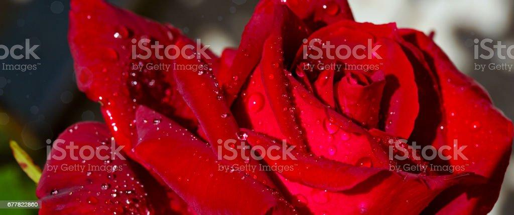 Beautiful red rose closeup royalty-free stock photo